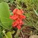 Eriosema distinctum - Photo ללא זכויות יוצרים