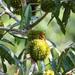 Naucleopsis naga - Photo (c) Phil Kahler,  זכויות יוצרים חלקיות (CC BY-NC)