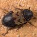 Larder Beetle - Photo (c) Nikolai Vladimirov, some rights reserved (CC BY-NC)