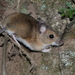 European Wood Mouse - Photo (c) Naturpel, some rights reserved (CC BY-NC), uploaded by naturpel