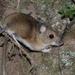 Ratón de Campo - Photo (c) Naturpel, algunos derechos reservados (CC BY-NC), uploaded by naturpel