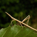 Neotropical Stick Grasshoppers - Photo (c) andrea ugarte, some rights reserved (CC BY-NC-SA)