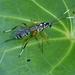 Xanthocryptus novozealandicus - Photo (c) epitree, μερικά δικαιώματα διατηρούνται (CC BY-NC), uploaded by Maurice