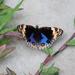 Junonia orithya minagara - Photo (c) Steven Kurniawidjaja, μερικά δικαιώματα διατηρούνται (CC BY-NC)