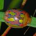 Paropsisterna - Photo (c) Simon Grove, μερικά δικαιώματα διατηρούνται (CC BY-NC), uploaded by Simon Grove (TMAG)
