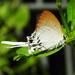Cheritra freja - Photo (c) anukma, μερικά δικαιώματα διατηρούνται (CC BY)