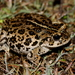 California Toad - Photo (c) Marc L., some rights reserved (CC BY-NC)