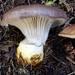 Gomphidius glutinosus - Photo (c) Marjan Kustera, algunos derechos reservados (CC BY-NC)