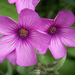 Oxalis articulata - Photo (c) Hazel I., μερικά δικαιώματα διατηρούνται (CC BY-NC-ND)