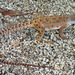 Cope's Leopard Lizard - Photo (c) 2004 Chris Brown, USGS, some rights reserved (CC BY-NC)