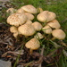 Agrocybe - Photo (c) Seattle.roamer,  זכויות יוצרים חלקיות (CC BY-NC-ND)