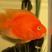 Blood Parrot Cichlid - Photo (c) casmium, some rights reserved (CC BY-NC-ND)