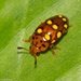 Water, Rove, Scarab, Long-horned, Leaf, and Snout Beetles - Photo (c) Arnold Wijker, some rights reserved (CC BY-NC)