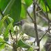 Lichmera lombokia - Photo (c) Yovie Jehabut, algunos derechos reservados (CC BY-NC)