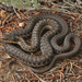 Thamnophis elegans vagrans - Photo (c) johnwilliams, algunos derechos reservados (CC BY-NC), uploaded by johnwilliams