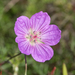 Geranium incanum - Photo (c) dianastromberg, algunos derechos reservados (CC BY-NC)