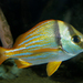 Porkfish - Photo (c) Brian Gratwicke, some rights reserved (CC BY)