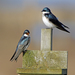 Tree Swallow - Photo (c) Rick Leche, some rights reserved (CC BY-NC-ND)