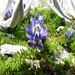 Lupinus microphyllus - Photo (c) Jeremy Barker, μερικά δικαιώματα διατηρούνται (CC BY-NC)