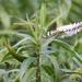 Veronica salicifolia - Photo (c) charlotte7, μερικά δικαιώματα διατηρούνται (CC BY-NC)