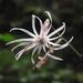 Ainsliaea - Photo (c) Hamachidori, algunos derechos reservados (CC BY-SA)