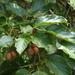 Actinidia rufa - Photo (c) greenlapwing, algunos derechos reservados (CC BY-ND)