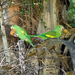 Yellow-chevroned Parakeet - Photo (c) Guillermo Menéndez, some rights reserved (CC BY-NC-ND)