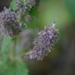 Pogostemon pubescens - Photo (c) Dinesh Valke, algunos derechos reservados (CC BY-SA)