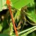 Ceriagrion glabrum - Photo (c) Peter Vos, algunos derechos reservados (CC BY-NC)