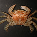 Gulfweed Crab - Photo (c) 2013 Moorea Biocode, some rights reserved (CC BY-NC-SA)