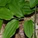 Smilax tamnoides - Photo (c) Rob Curtis, osa oikeuksista pidätetään (CC BY-NC-SA)