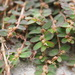 Red Caustic-Creeper - Photo (c) sunnetchan, some rights reserved (CC BY-NC-SA)