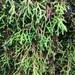 Selaginella oregana - Photo (c) Paul Engelmeyer, algunos derechos reservados (CC BY-NC)
