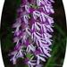 Orchis purpurea caucasica - Photo (c) Katya, μερικά δικαιώματα διατηρούνται (CC BY), uploaded by katunchik