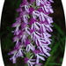 Orchis purpurea caucasica - Photo (c) Katya, some rights reserved (CC BY), uploaded by katunchik