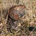 Pisolithus tinctorius - Photo (c) Paul G. Johnson, algunos derechos reservados (CC BY-NC-SA)