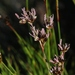 Juncus nevadensis - Photo (c) James Bailey, μερικά δικαιώματα διατηρούνται (CC BY-NC)