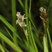 Carex integra - Photo (c) James Bailey,  זכויות יוצרים חלקיות (CC BY-NC)