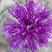 Vernoniastrum latifolium - Photo (c) Riana Fourie, some rights reserved (CC BY-NC)