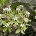 Asclepias nyctaginifolia - Photo no hay derechos reservados