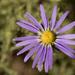 Machaerantherinae - Photo no rights reserved