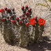 Kingcup Cactus - Photo no rights reserved