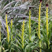 Desert Candle - Photo (c) Annie's Annuals & Perennials, some rights reserved (CC BY)