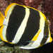 Threeband Butterflyfish - Photo (c) Erik Schlogl, some rights reserved (CC BY-NC)