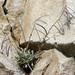 Boechera lemmonii - Photo Δεν διατηρούνται δικαιώματα