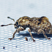 Citrus Weevil - Photo (c) tjeales, some rights reserved (CC BY-SA)
