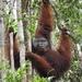 Orangután de Borneo - Photo (c) atto11, algunos derechos reservados (CC BY-NC)