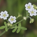 White Fiesta Flower - Photo (c) Nature Ali, some rights reserved (CC BY-NC-ND)