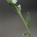 Pectocarya linearis - Photo (c) Nature Ali,  זכויות יוצרים חלקיות (CC BY-NC-ND)