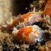 Chromodoris alternata - Photo (c) Christopher Mark, some rights reserved (CC BY-NC)
